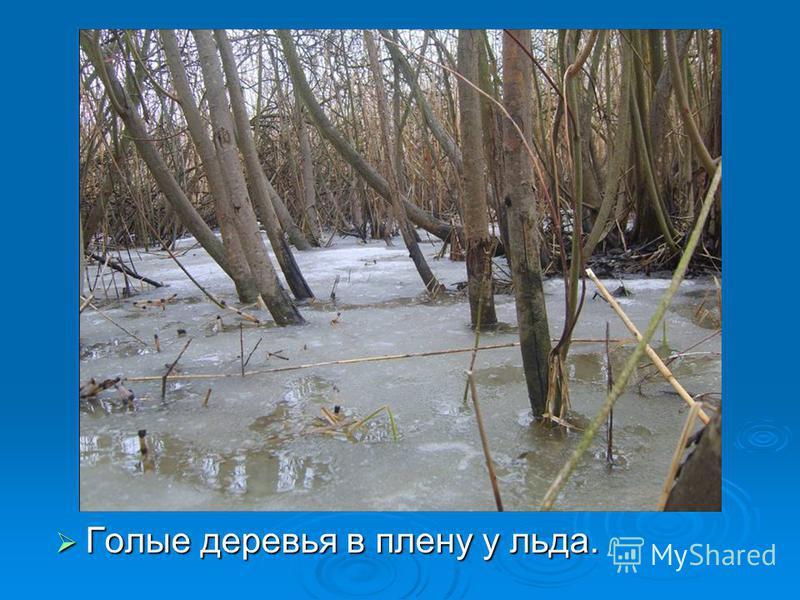 Голые деревья в плену у льда. Голые деревья в плену у льда.