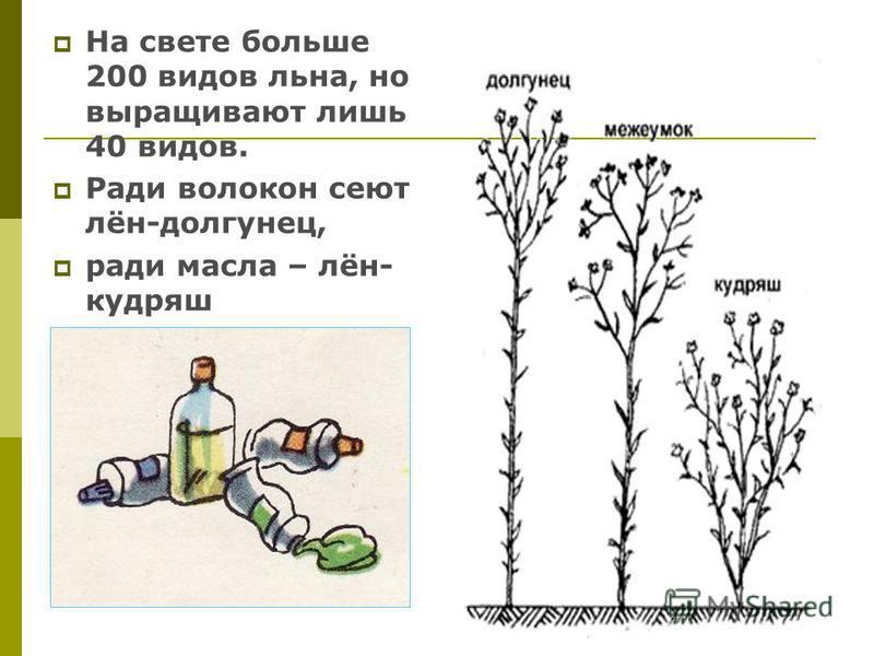 На свете больше 200 видов льна, но выращивают лишь 40 видов. Ради волокон сеют лён-долгунец, ради масла – лён- кудряш