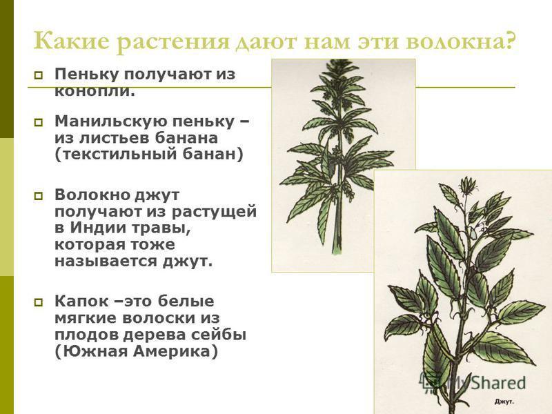 Какие растения дают нам эти волокна? Пеньку получают из конопли. Манильскую пеньку – из листьев банана (текстильный банан) Волокно джут получают из растущей в Индии травы, которая тоже называется джут. Капок –это белые мягкие волоски из плодов дерева