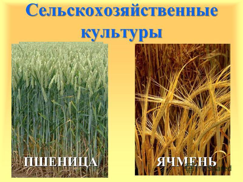 Сельскохозяйственные культуры ПШЕНИЦА ЯЧМЕНЬ ЯЧМЕНЬ