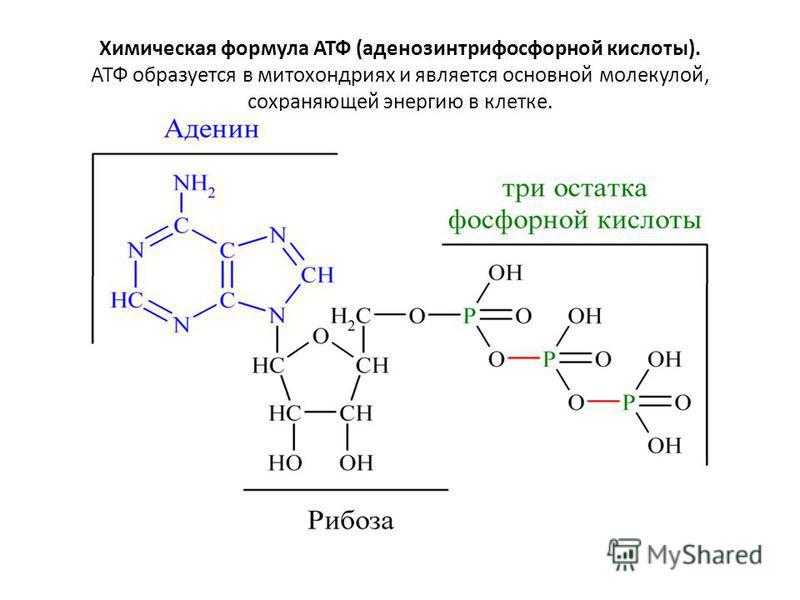 Химическая формула АТФ (аденозинтрифосфорной кислоты). АТФ образуется в митохондриях и является основной молекулой, сохраняющей энергию в клетке.
