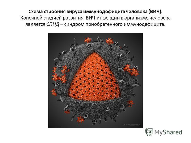 Схема строения вируса иммунодефицита человека (ВИЧ). Конечной стадией развития ВИЧ-инфекции в организме человека является СПИД – синдром приобретенного иммунодефицита.