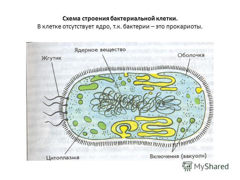Схема строения бактериальной клетки. В клетке отсутствует ядро, т.к. бактерии – это прокариоты.