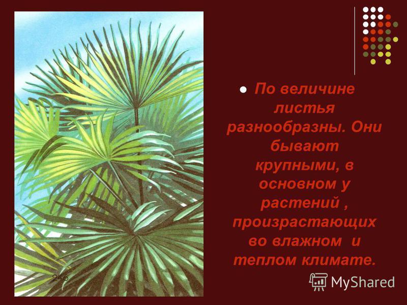 По величине листья разнообразны. Они бывают крупными, в основном у растений, произрастающих во влажном и теплом климате.