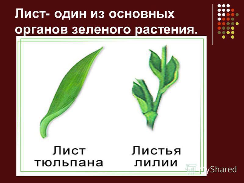 Лист- один из основных органов зеленого растения.