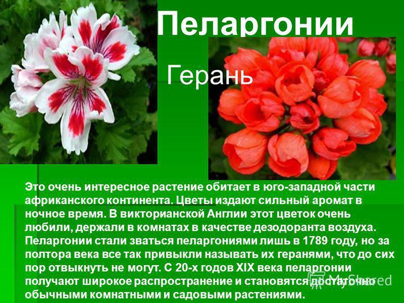 Пеларгонии Это очень интересное растение обитает в юго-западной части африканского континента. Цветы издают сильный аромат в ночное время. В викторианской Англии этот цветок очень любили, держали в комнатах в качестве дезодоранта воздуха. Пеларгонии