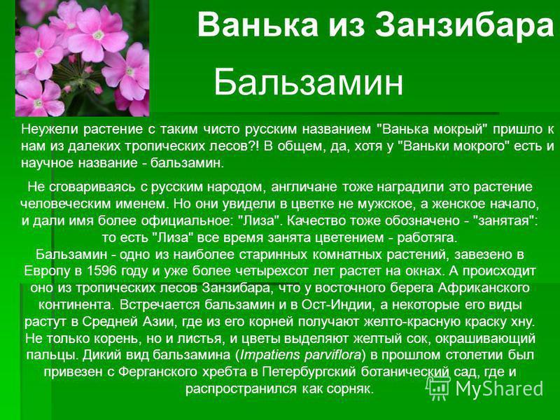 Ванька из Занзибара Бальзамин Неужели растение с таким чисто русским названием