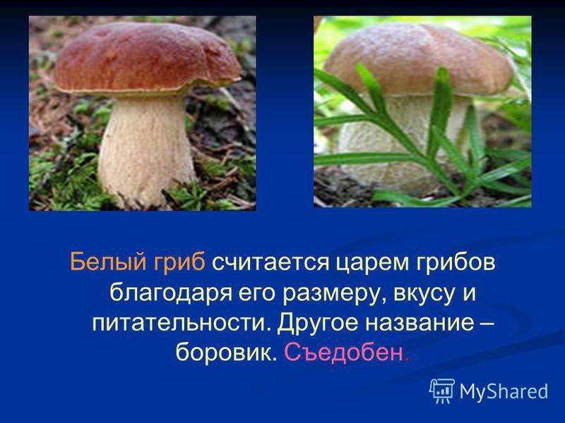 Белый гриб считается царем грибов благодаря его размеру, вкусу и питательности. Другое название – боровик. Съедобен.