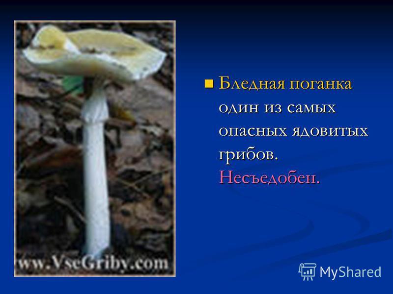 Бледная поганка один из самых опасных ядовитых грибов. Несъедобен.