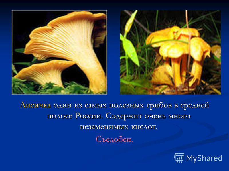 Лисичка один из самых полезных грибов в средней полосе России. Содержит очень много незаменимых кислот. Съедобен.