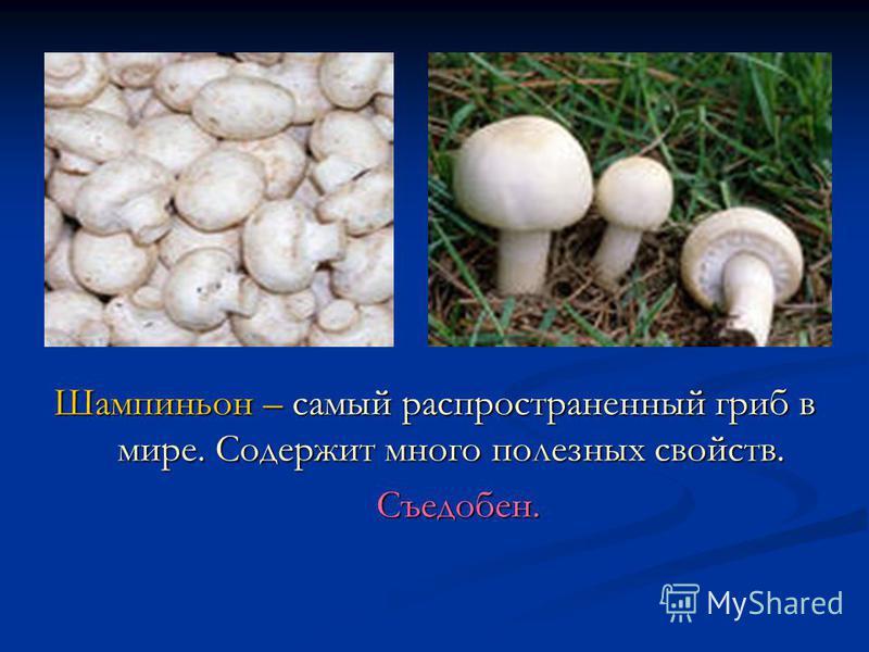 Шампиньон – самый распространенный гриб в мире. Содержит много полезных свойств. Съедобен.