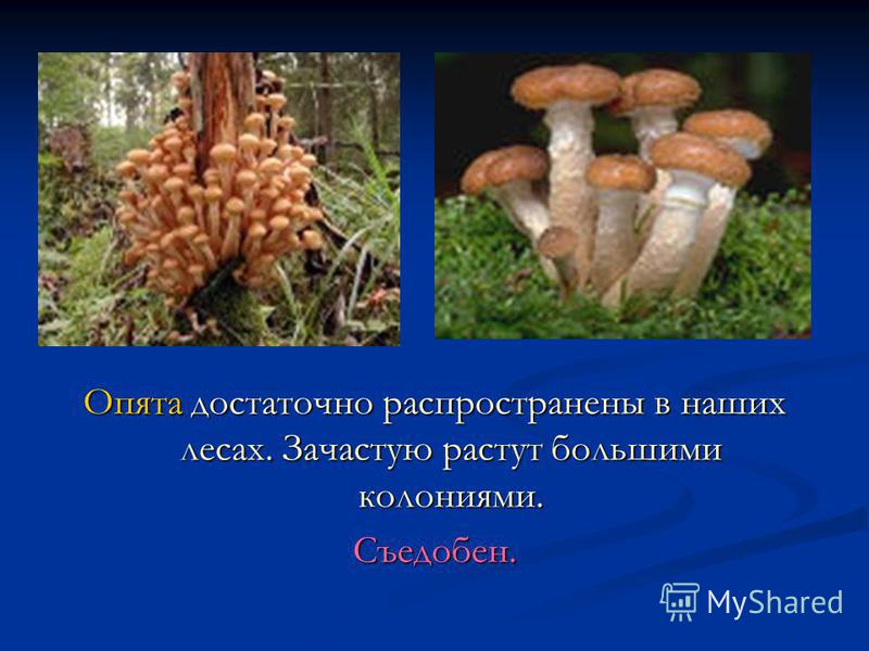 Опята достаточно распространены в наших лесах. Зачастую растут большими колониями. Съедобен.