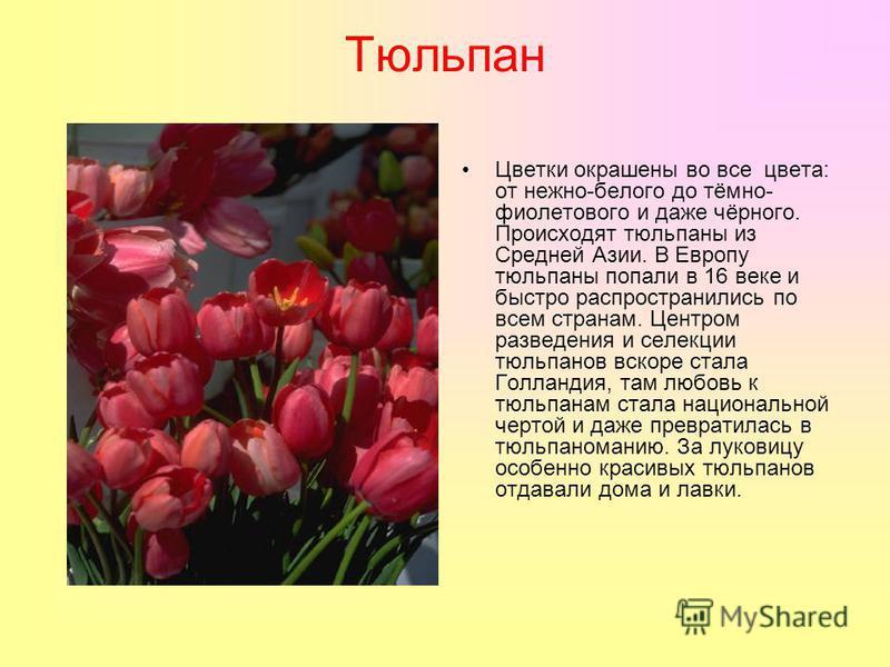 Тюльпан Цветки окрашены во все цвета: от нежно-белого до тёмно- фиолетового и даже чёрного. Происходят тюльпаны из Средней Азии. В Европу тюльпаны попали в 16 веке и быстро распространились по всем странам. Центром разведения и селекции тюльпанов вск