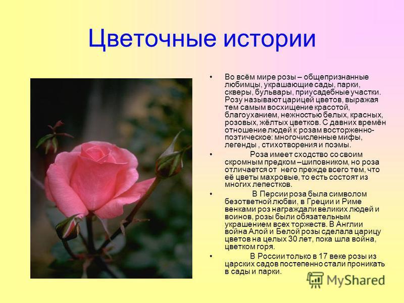 Цветочные истории Во всём мире розы – общепризнанные любимцы, украшающие сады, парки, скверы, бульвары, приусадебные участки. Розу называют царицей цветов, выражая тем самым восхищение красотой, благоуханием, нежностью белых, красных, розовых, жёлтых
