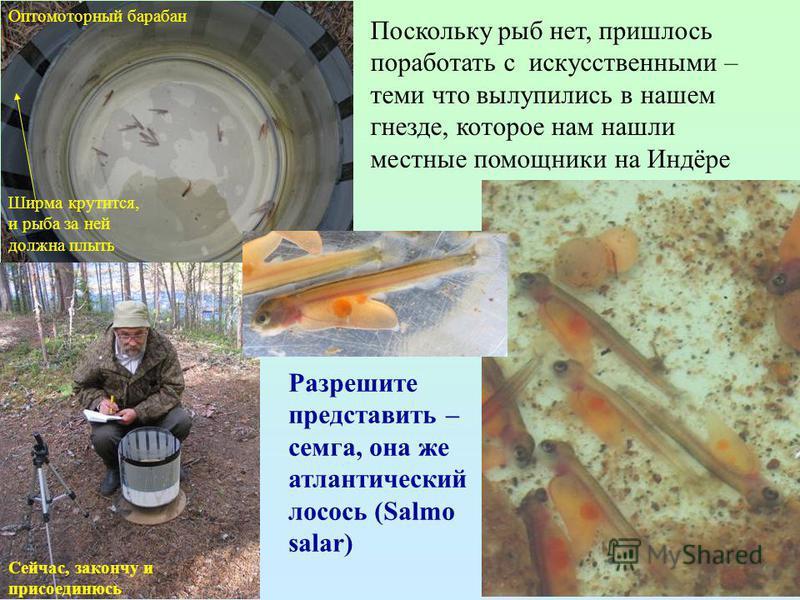 Поскольку рыб нет, пришлось поработать с искусственными – теми что вылупились в нашем гнезде, которое нам нашли местные помощники на Индёре Оптомоторный барабан Сейчас, закончу и присоединюсь Разрешите представить – семга, она же атлантический лосось