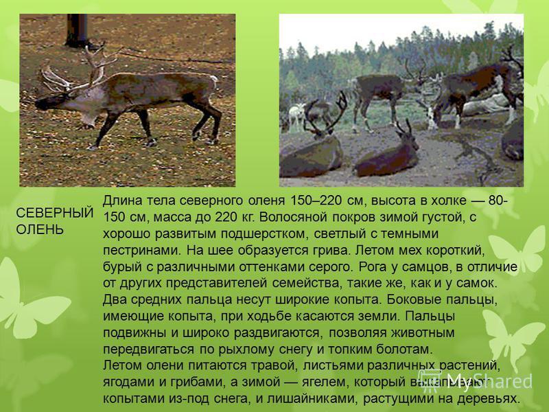 Длина тела северного оленя 150–220 см, высота в холке 80- 150 см, масса до 220 кг. Волосяной покров зимой густой, с хорошо развитым подшерстком, светлый с темными пестринами. На шее образуется грива. Летом мех короткий, бурый с различными оттенками с