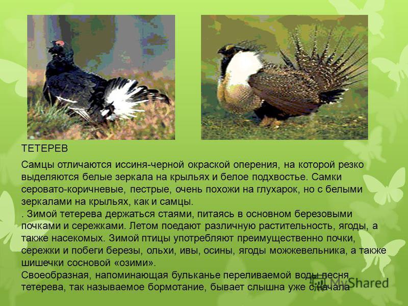 Самцы отличаются иссиня-черной окраской оперения, на которой резко выделяются белые зеркала на крыльях и белое подхвостье. Самки серовато-коричневые, пестрые, очень похожи на глухарок, но с белыми зеркалами на крыльях, как и самцы.. Зимой тетерева де