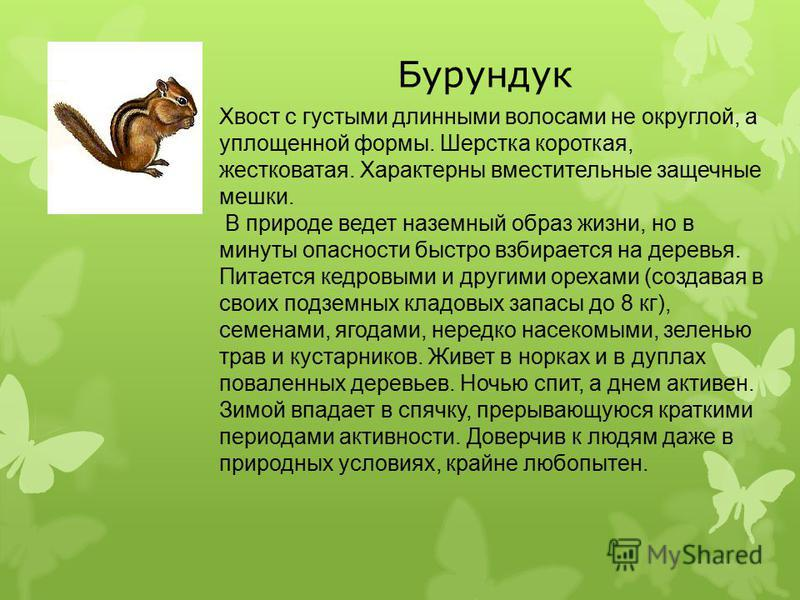 Бурундук Хвост с густыми длинными волосами не округлой, а уплощенной формы. Шерстка короткая, жестковатая. Характерны вместительные защечные мешки. В природе ведет наземный образ жизни, но в минуты опасности быстро взбирается на деревья. Питается кед