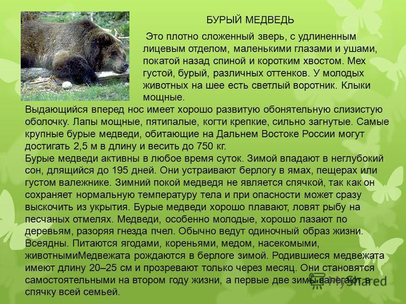 БУРЫЙ МЕДВЕДЬ Выдающийся вперед нос имеет хорошо развитую обонятельную слизистую оболочку. Лапы мощные, пятипалые, когти крепкие, сильно загнутые. Самые крупные бурые медведи, обитающие на Дальнем Востоке России могут достигать 2,5 м в длину и весить