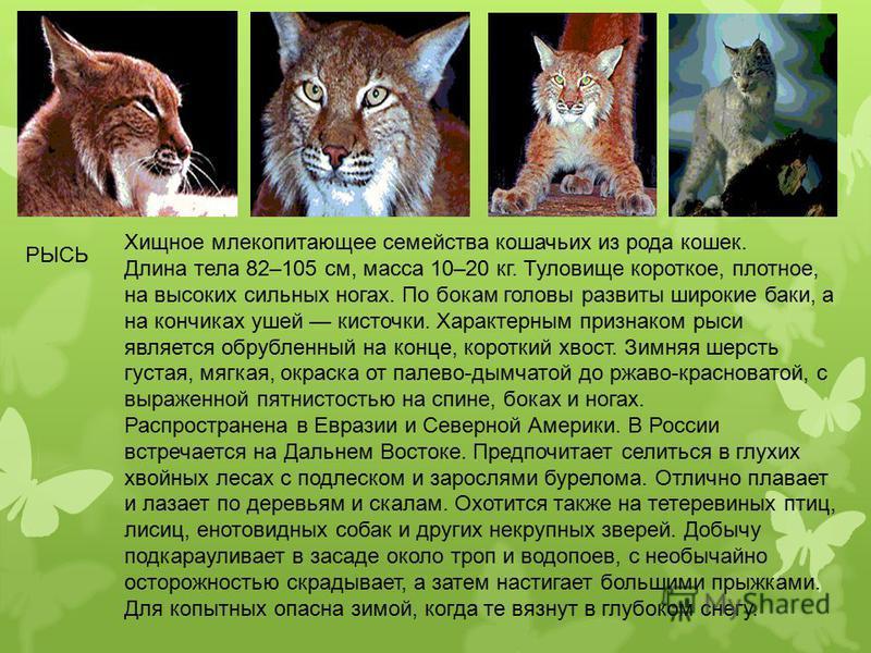 Хищное млекопитающее семейства кошачьих из рода кошек. Длина тела 82–105 см, масса 10–20 кг. Туловище короткое, плотное, на высоких сильных ногах. По бокам головы развиты широкие баки, а на кончиках ушей кисточки. Характерным признаком рыси является
