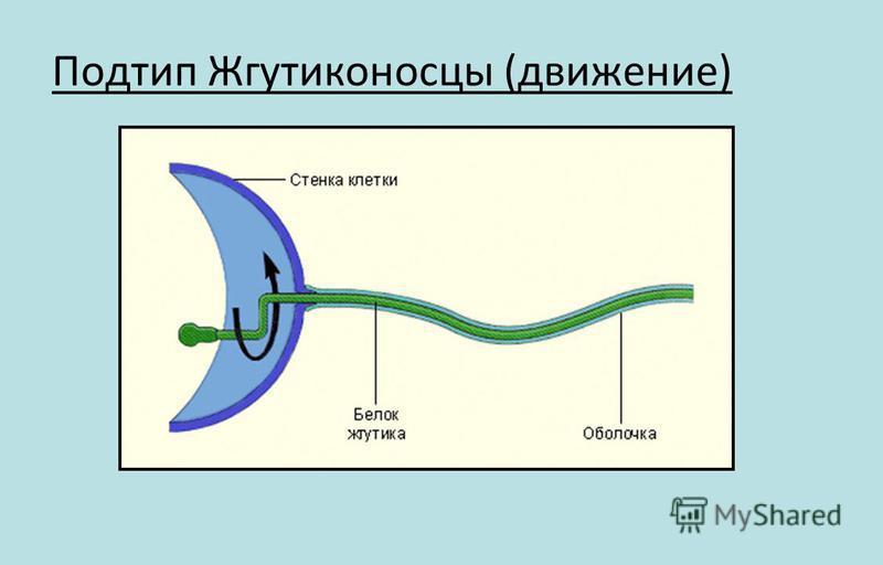 Подтип Жгутиконосцы (движение)
