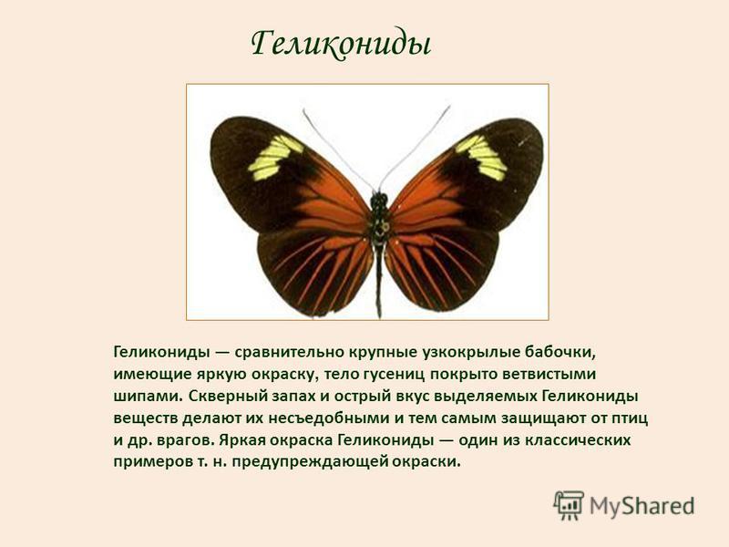 Геликониды Геликониды сравнительно крупные узкокрылые бабочки, имеющие яркую окраску, тело гусениц покрыто ветвистыми шипами. Скверный запах и острый вкус выделяемых Геликониды веществ делают их несъедобными и тем самым защищают от птиц и др. врагов.