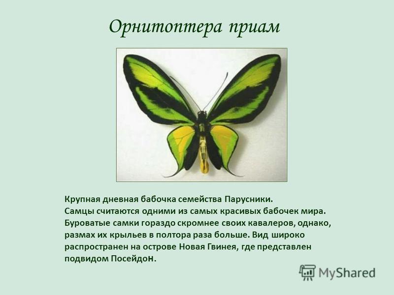 Орнитоптера приам Крупная дневная бабочка семейства Парусники. Самцы считаются одними из самых красивых бабочек мира. Буроватые самки гораздо скромнее своих кавалеров, однако, размах их крыльев в полтора раза больше. Вид широко распространен на остро