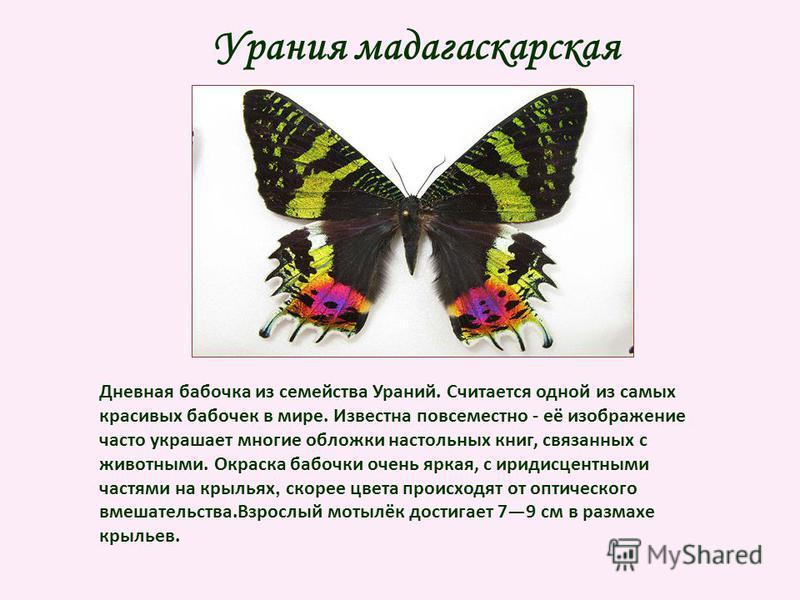 Урания мадагаскарская Дневная бабочка из семейства Ураний. Считается одной из самых красивых бабочек в мире. Известна повсеместно - её изображение часто украшает многие обложки настольных книг, связанных с животными. Окраска бабочки очень яркая, с ир