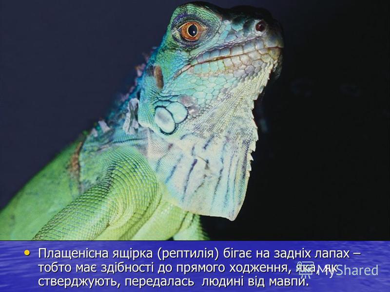 Плащенісна ящірка (рептилія) бігає на задніх лапах – тобто має здібності до прямого ходження, яка, як стверджують, передалась людині від мавпи. Плащенісна ящірка (рептилія) бігає на задніх лапах – тобто має здібності до прямого ходження, яка, як стве