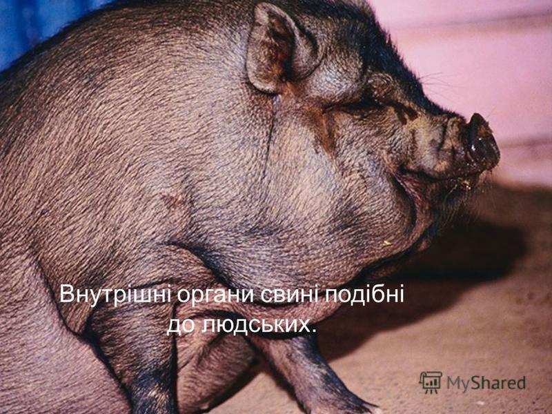 Внутрішні органи свині подібні до людських.
