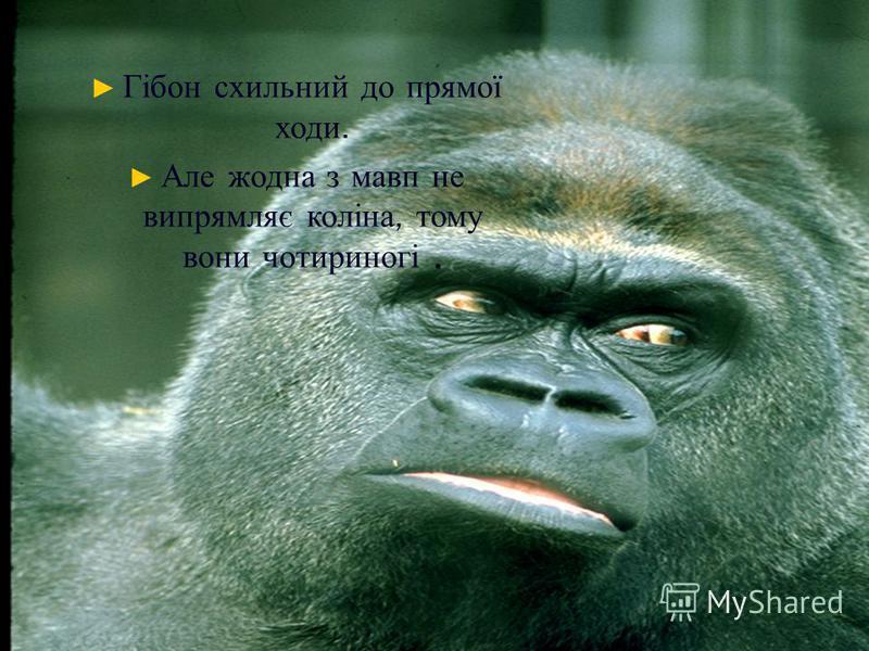 Гібон схильний до прямої ходи.. Але жодна з мавп не випрямляє коліна, тому вони чотириногі.