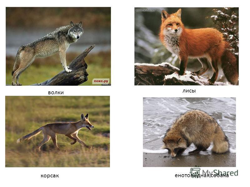 волки лисы корсак енотовидная собака