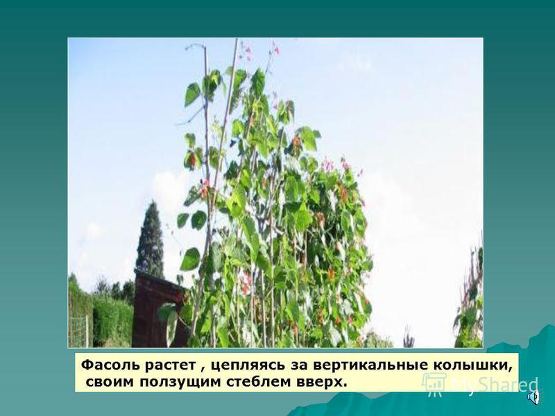 Овощи могут расти: 1. в поле 1. в поле 2. в огороде, на даче 2. в огороде, на даче 3. в теплице 3. в теплице 4. на подоконнике и на балконе 4. на подоконнике и на балконе 5. в палисаднике возле дома для украшения изгороди 5. в палисаднике возле дома