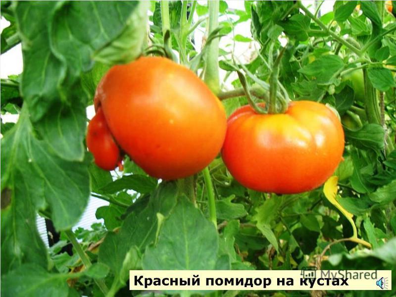 Так цветет и растет томат (помидор)
