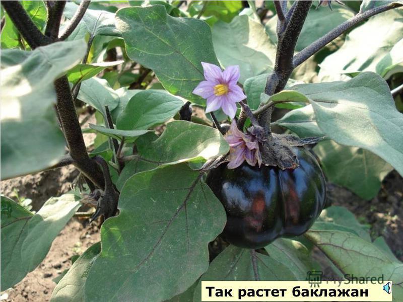 Это цветок баклажана