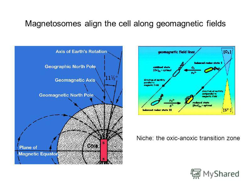 Magnetosomes align the cell along geomagnetic fields Niche: the oxic-anoxic transition zone