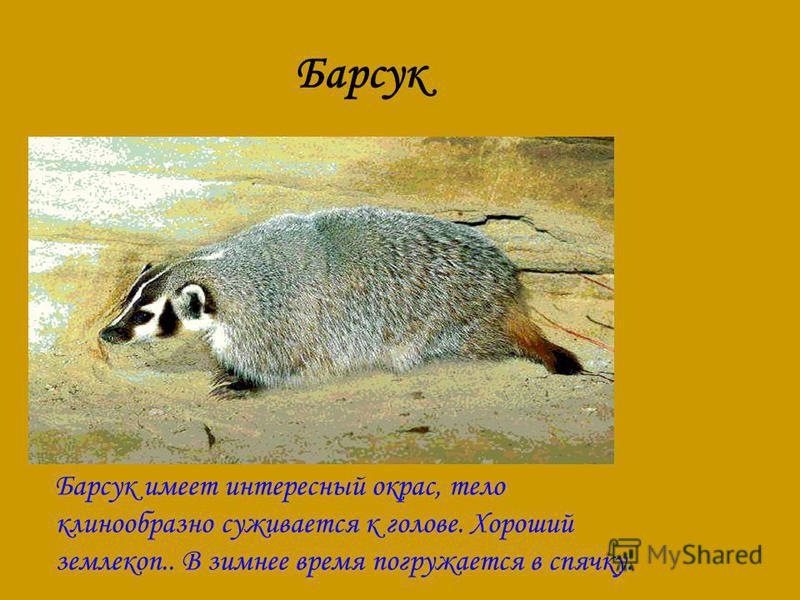 Барсук Барсук имеет интересный окрас, тело клинообразно суживается к голове. Хороший землекоп.. В зимнее время погружается в спячку.