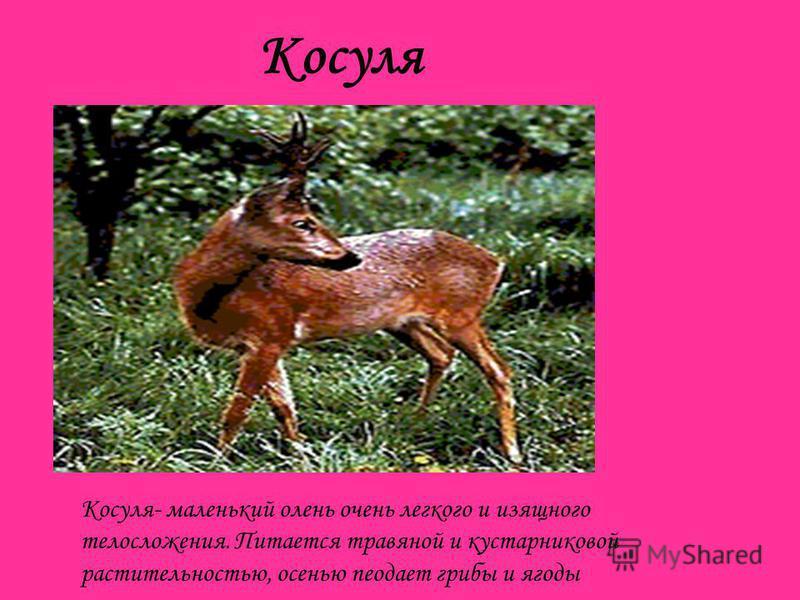 Косуля Косуля- маленький олень очень легкого и изящного телосложения. Питается травяной и кустарниковой растительностью, осенью подает грибы и ягоды