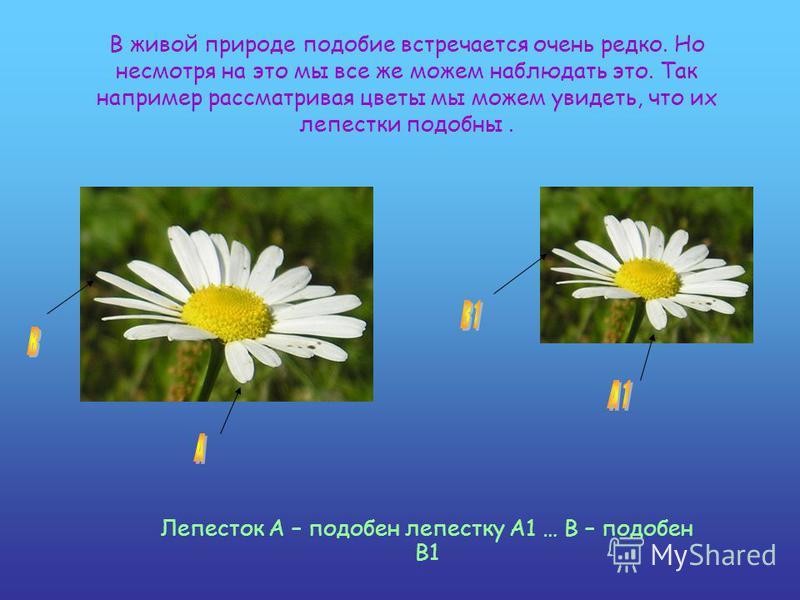 В живой природе подобие встречается очень редко. Но несмотря на это мы все же можем наблюдать это. Так например рассматривая цветы мы можем увидеть, что их лепестки подобны. Лепесток A – подобен лепестку A1 … B – подобен B1