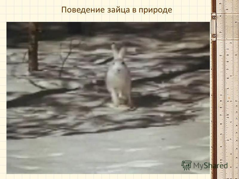 Поведение зайца в природе