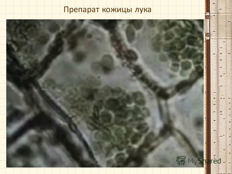Препарат кожицы лука