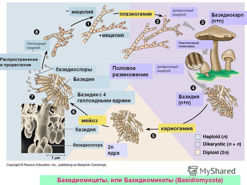 Базидиомицеты, или Базидиомикоты (Basidiomycota) Гаплоидный мицелий Распространение и прорастание мицелий плазмогамия дикарионный мицелий Базидиокарп (n+n) Пластинчатый гименофор Половое размножение дикарионный мицелий Базидия (n+n) 2n ядра базидиосп