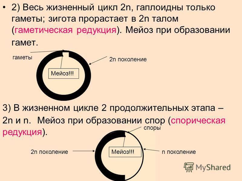 2) Весь жизненный цикл 2n, гаплоидны только гаметы; зигота прорастает в 2n талом (гаметическая редукция). Мейоз при образовании гамет. 2n поколение Мейоз!!! гаметы 3) В жизненном цикле 2 продолжительных этапа – 2n и n. Мейоз при образовании спор (спо