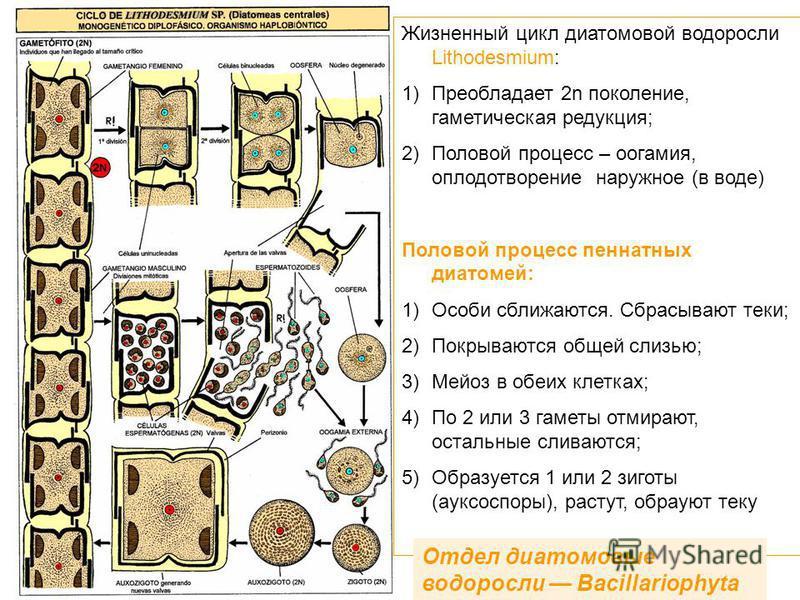 Жизненный цикл диатомовой водоросли Lithodesmium: 1)Преобладает 2n поколение, гаметическая редукция; 2)Половой процесс – оогамия, оплодотворение наружное (в воде) Половой процесс пеннатных диатомей: 1)Особи сближаются. Сбрасывают теки; 2)Покрываются