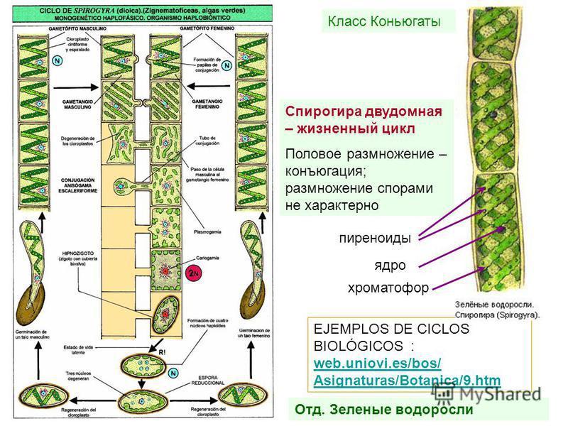 EJEMPLOS DE CICLOS BIOLÓGICOS : web.uniovi.es/bos/ Asignaturas/Botanica/9. htm web.uniovi.es/bos/ Asignaturas/Botanica/9. htm Отд. Зеленые водоросли Класс Коньюгаты Спирогира двудомная – жизненный цикл Половое размножение – конъюгация; размножение сп