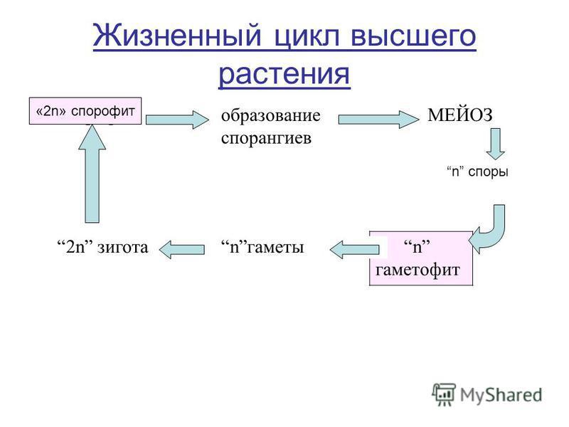 Жизненный цикл высшего растения 2n спорофит образование спорангиев МЕЙОЗ 2n зигота nгаметы n гаметофит n споры «2n» спорофит