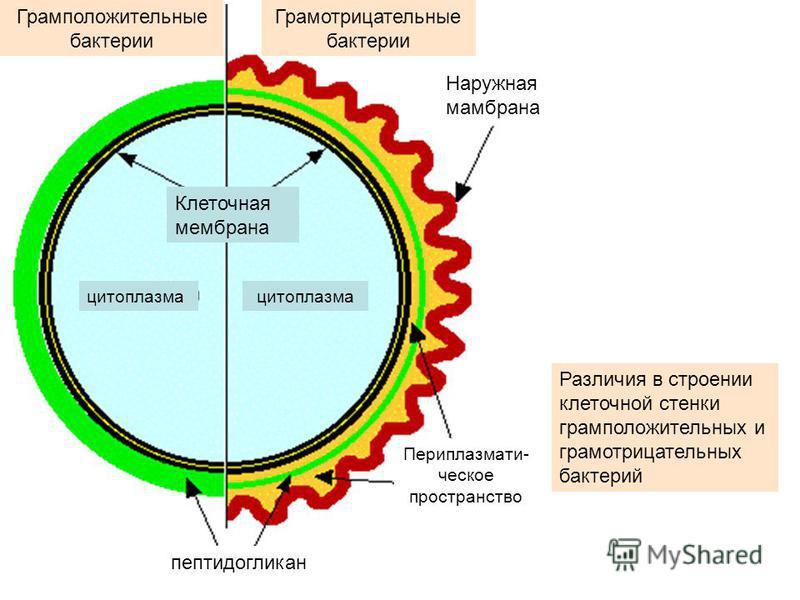 Различия в строении клеточной стенки грамположительных и грамотрицательных бактерий Клеточная мембрана цитоплазма Грамположительные бактерии Грамотрицательные бактерии Наружная мембрана пептидогликан Периплазмати- чешское пространство