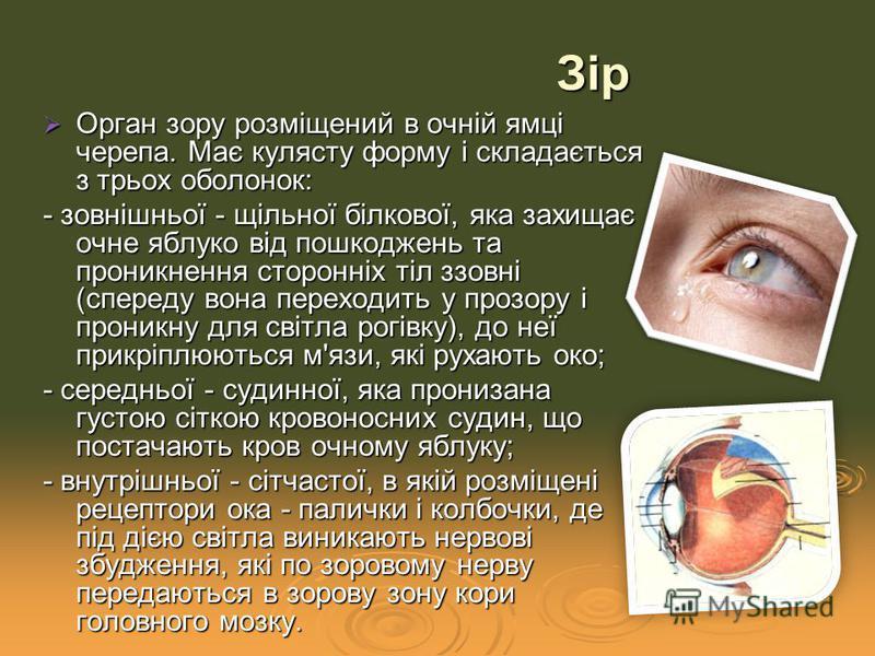 Орган зору розміщений в очній ямці черепа. Має кулясту форму і складається з трьох оболонок: Орган зору розміщений в очній ямці черепа. Має кулясту форму і складається з трьох оболонок: - зовнішньої - щільної білкової, яка захищає очне яблуко від пош