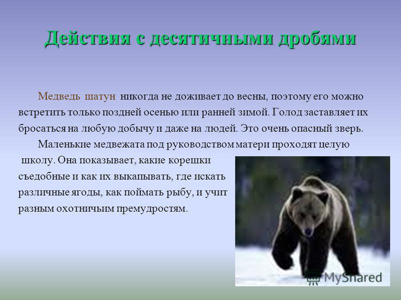 Действия с десятичными дробями Медведь шатун никогда не доживает до весны, поэтому его можно встретить только поздней осенью или ранней зимой. Голод заставляет их бросаться на любую добычу и даже на людей. Это очень опасный зверь. Маленькие медвежата