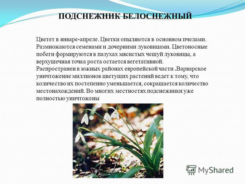 ПОДСНЕЖНИК БЕЛОСНЕЖНЫЙ Цветет в январе-апреле. Цветки опыляются в основном пчелами. Размножаются семенами и дочерними луковицами. Цветоносные побеги формируются в пазухах мясистых чешуй луковицы, а верхушечная точка роста остается вегетативной. Распр